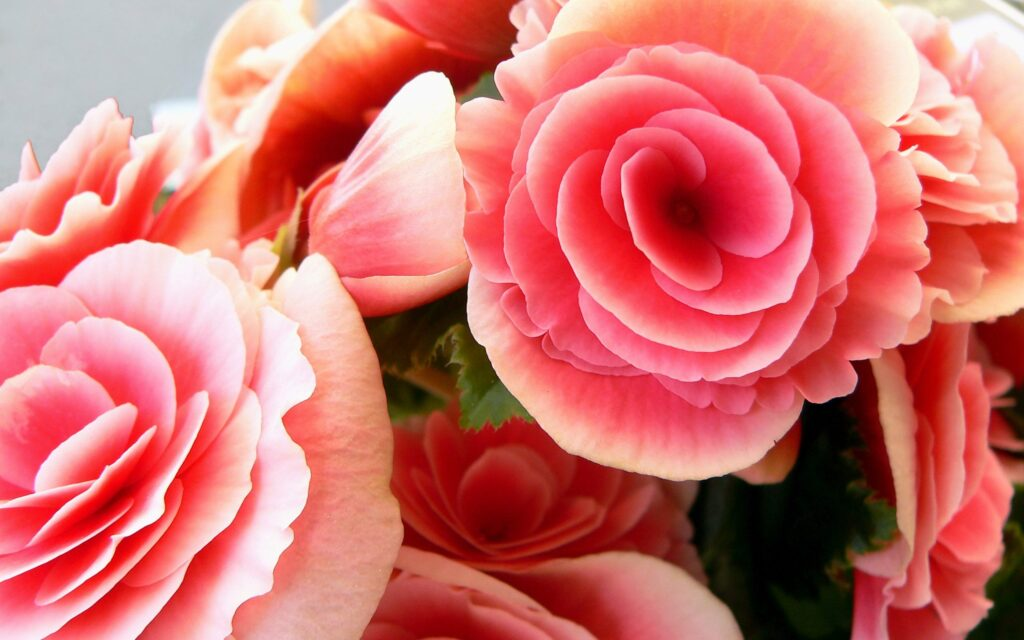 roses background images