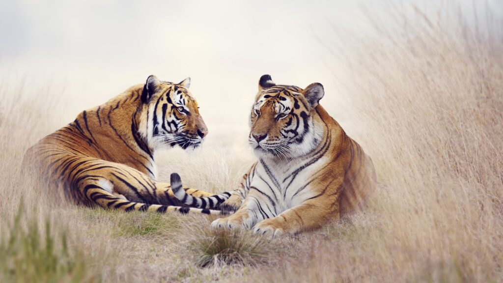 tigers best wallpapers