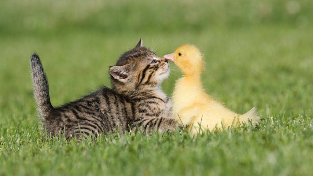 cat and duck cute wallpapers