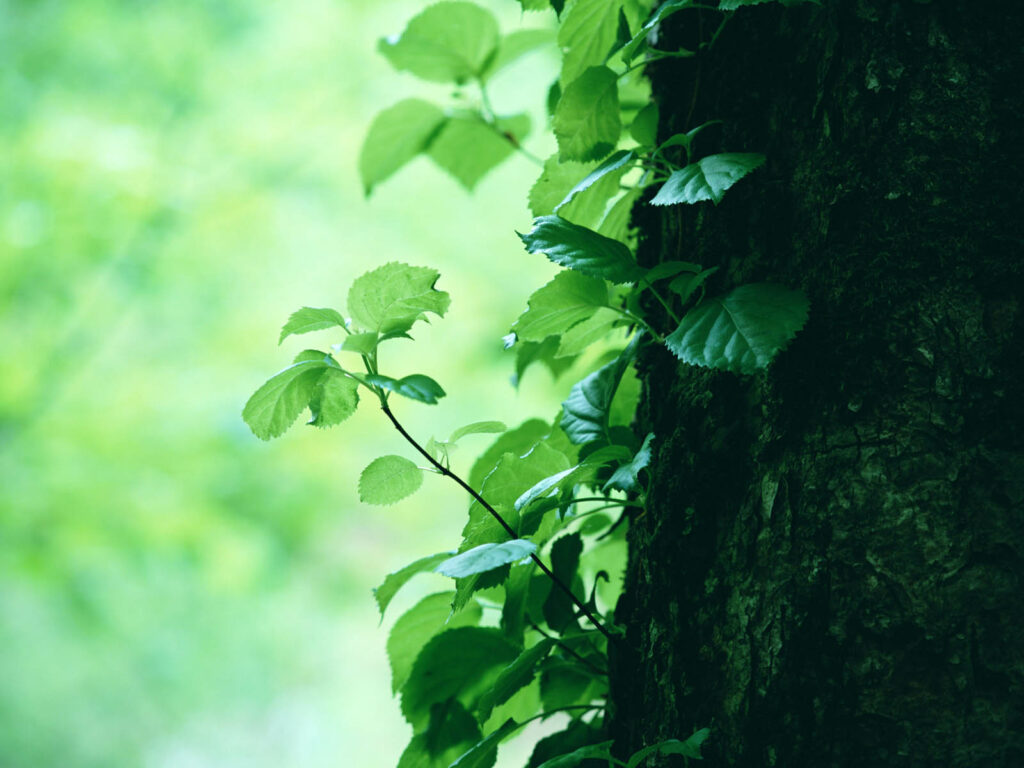 tree green wallpapers