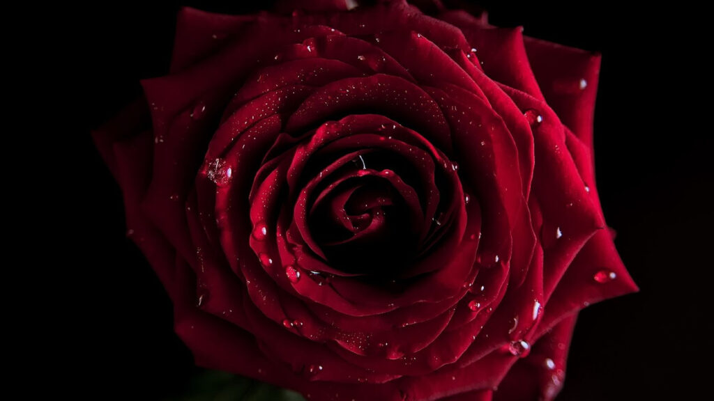 flower red wallpapers